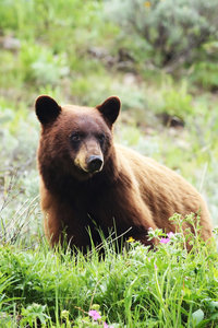cinnamon-black-bear
