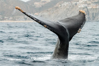 cameron-zegers-editorial-photographer-cabo-san-lucas-humpback-whale