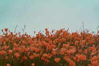 Extra Edited Poppies 2