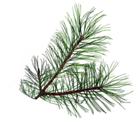 c5ed3120c05499f8c8124f59a59826bc_free-evergreen-branch-clip-art-19-evergreen-leaves-clipart_1069-970