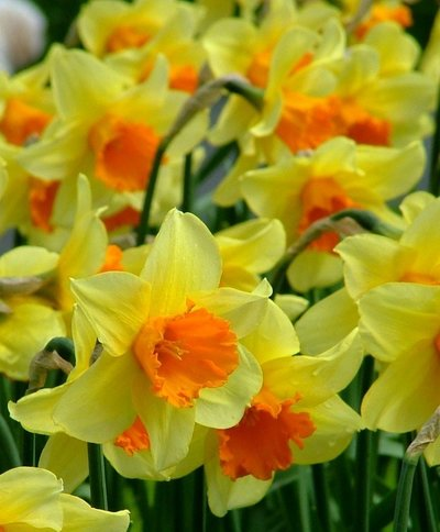 NARCISSUS FORTISSIMO LARGE CUPPED