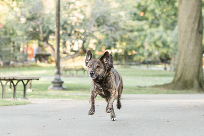 Rescue Dog running in the Boston Public Garden
