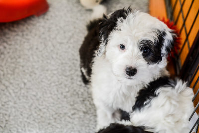 Mini Sheepadoodle Breeder