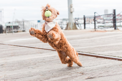 Brown Mini Labradoodle catching tennis ball in mouth