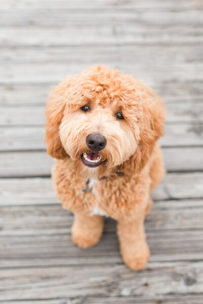 Brown goldendoodle sitting in Charlestown Navy Yard