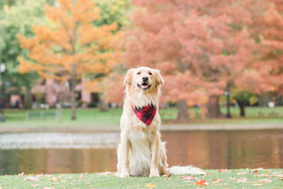 Golden Retriever wearing bandana in Boston Public Garden