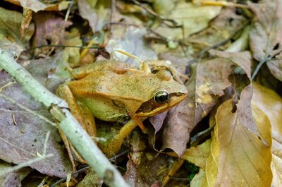 Camouflaged Wood Frog Web
