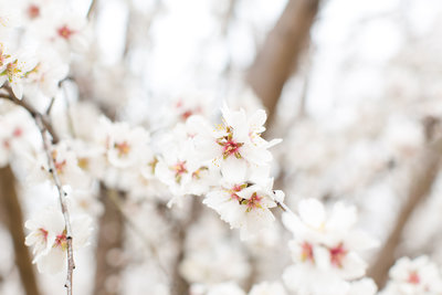 Almondblossoms_149