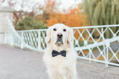 Golden Retriever wearing a bow tie in the Boston Public Garden