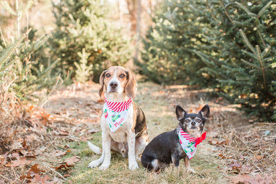 Two dogs wearing Christmas scarves