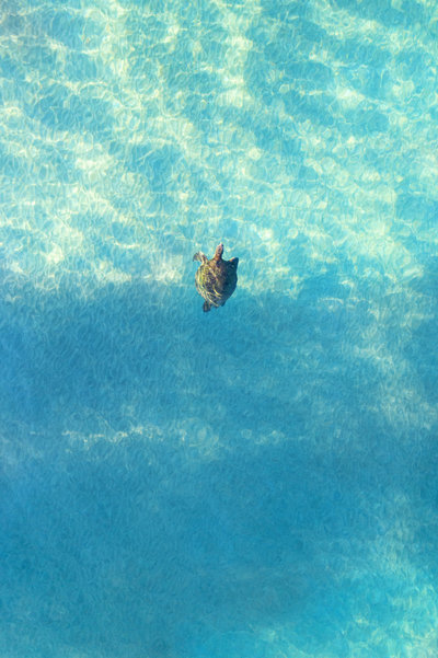 Turtle swimming in Maui, photographed by drone
