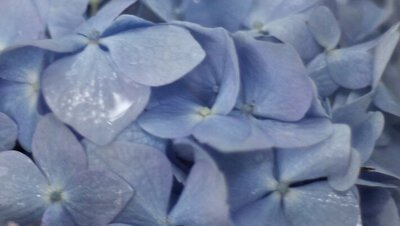 Flower photography extreme closeup of blue petals