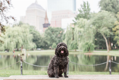 Black Mini Golden Doodle sitting on a bench in the Boston Public Garden
