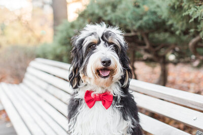 Bernedoodle puppy wearing a red bow tie sitting on a bench