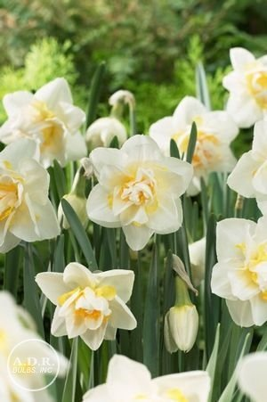NARCISSUS WHITE LION DOUBLE