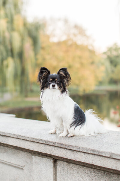 Papillon sitting on ledge in Boston Public Garden