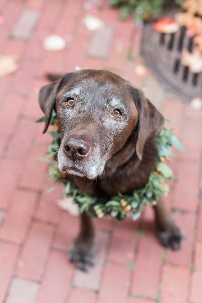 Chocolate Lab wearing a flower collar
