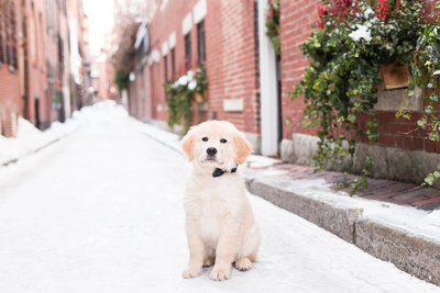 Golden Retriever puppy wearing a bow tie in Beacon Hill