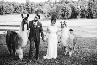 bride and groom make goofy faces with alpacas at durham hill farm for their wedding shot by philadelphia wedding photographer alex medvick