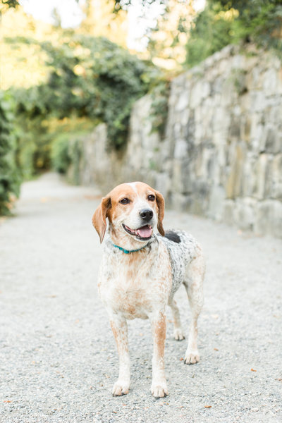 Beagle Mix Dog in Arnold Arboretum