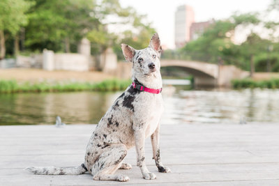 Catahoula sitting in Boston Esplanade