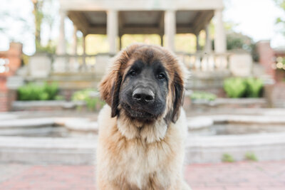 Leonberger smiling at camera