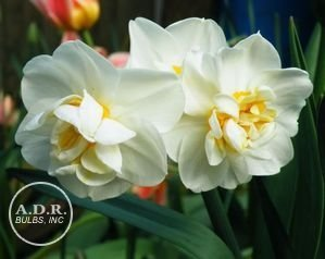 NARCISSUS CHEERFULNESS CLUSTER FLOWER