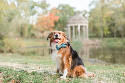 Australian Shepherd Mix at Larz Anderson Park