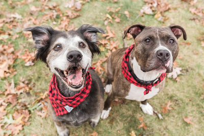 Two dogs wearing red and black plaid scarves