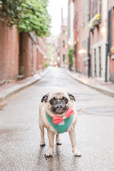 Pug wearing a bow tie in Beacon Hill