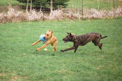 two dogs running and playing in field