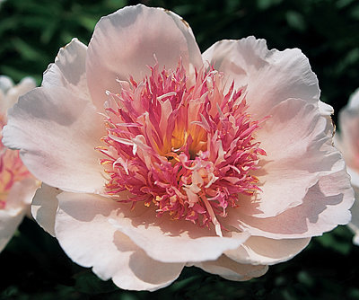 PEONY DO TELL SOFT PINK ROSE