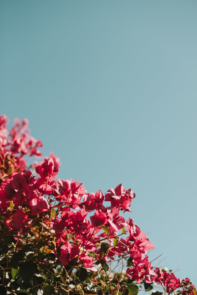 pink flowers against blue sky