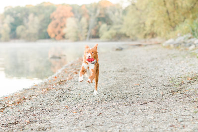 Nova Scotia Duck Tolling Retriever running by water