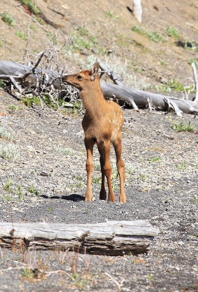 baby-elk-by-lake 2