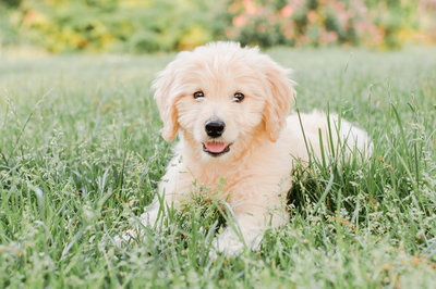 Nali-the-goldendoodle-Boston-7