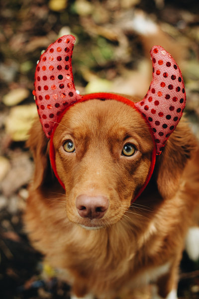 Dog-Toller-Devil-Nova-Scotia-Duck-Tolling-Retriever-Detroit-Michigan-lifestyle-ChettaraTPhotography-6566