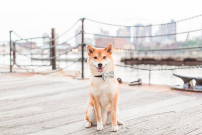 Shiba Inu wearing a bow tie in Charlestown Navy Yard