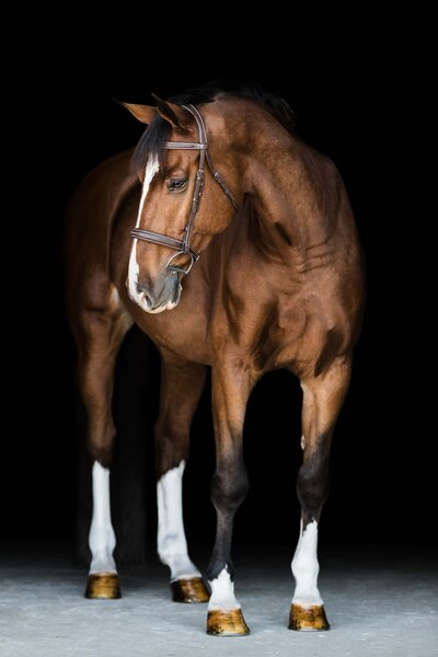 Quiet Victory Farm black background portrait of bay gelding