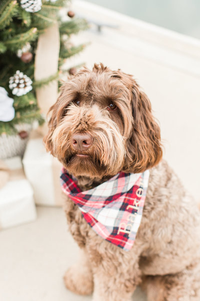 Brown Goldendoodle wearing a plaid Christmas scarf