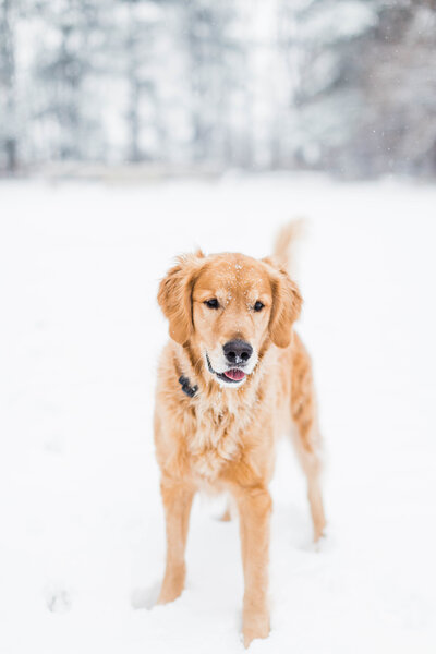 Victoria's golden retriever playing in the snow
