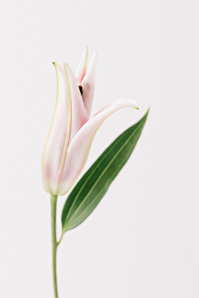 Fine art floral photograph of a soft pink lily