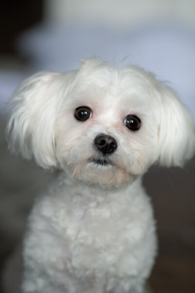 maltese dog looking at camera