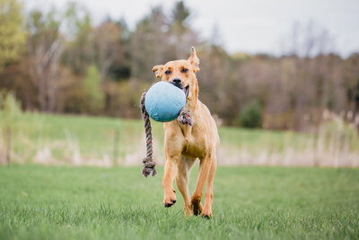 dog running with blue ball in its mouth