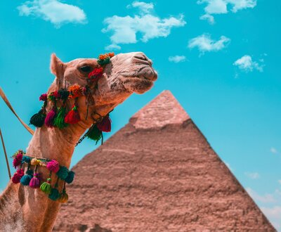 camels in egypt