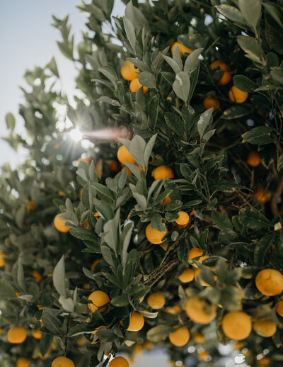 light in an orange grove
