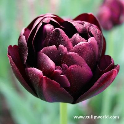 TULIP UNCLE TOM 20_ PEONY LATE