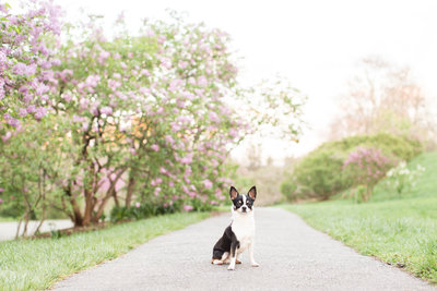 Black and White Chihuahua in Arnold Arboretum