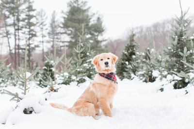 Golden Retriever wearing a plaid scarf