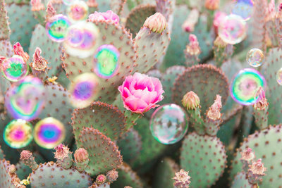 Beavertail Prickly Pear Cactus Bubbles